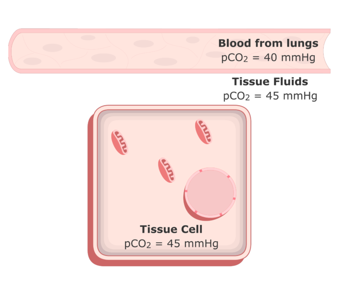 CO2 moving into the plasma from the tissue fluids animation 1