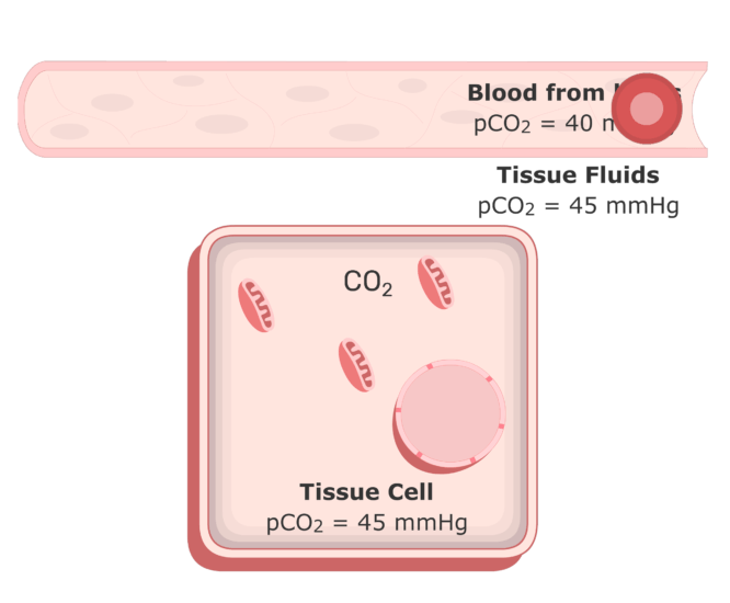 CO2 moving into the plasma from the tissue fluids animation 2