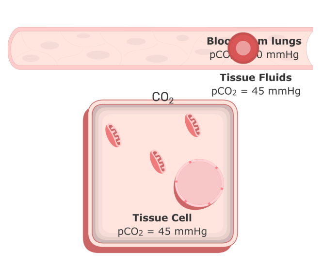 CO2 moving into the plasma from the tissue fluids animation 3