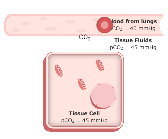 CO2 moving into the plasma from the tissue fluids animation 4