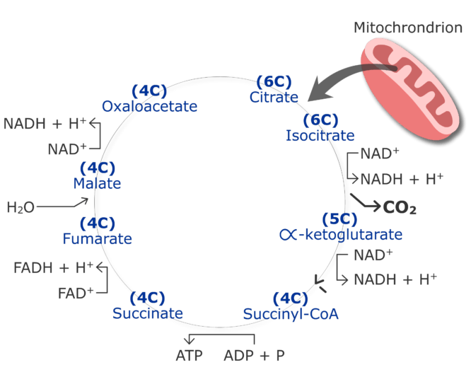 CO2 production cycle by cirtruc acid cycle animation slide 12