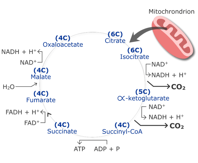 CO2 production cycle by cirtruc acid cycle animation slide 16