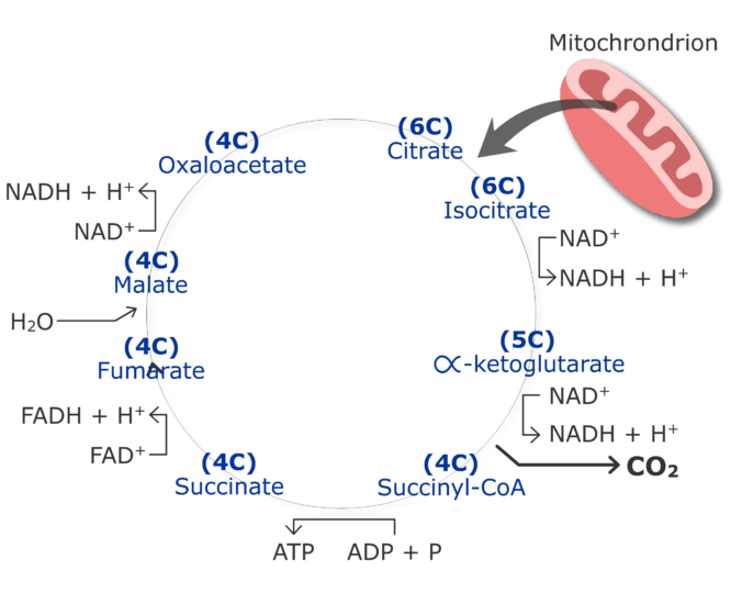 CO2 production cycle by cirtruc acid cycle animation slide 17