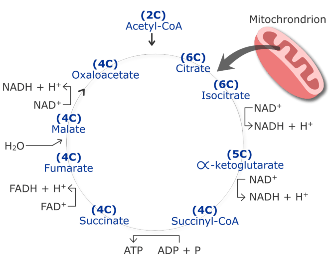 CO2 production cycle by cirtruc acid cycle animation slide 3