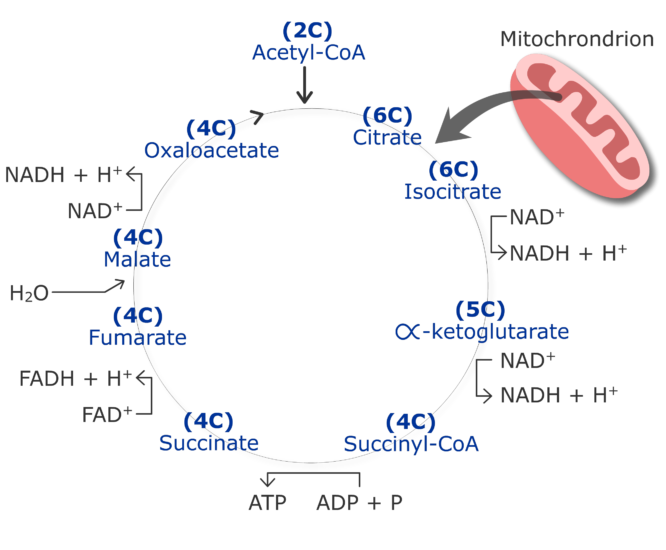 CO2 production cycle by cirtruc acid cycle animation slide 5