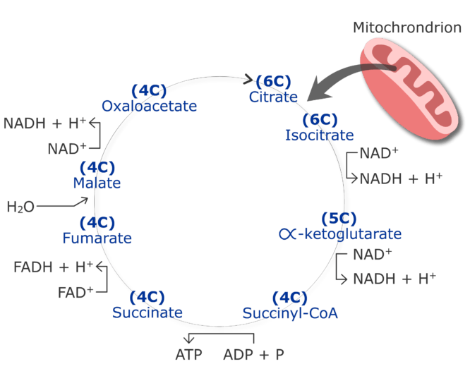 CO2 production cycle by cirtruc acid cycle animation slide 7