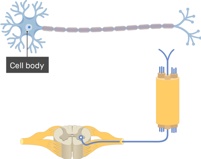 Am image showing the basic structure of the multipolar neuron, the Cell body is labeled