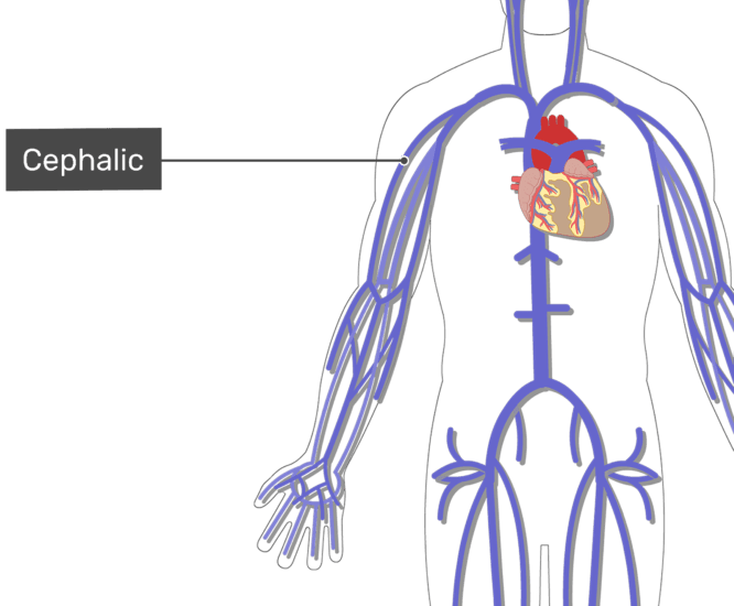 Labelled image of the cephalic vein with the skeleton off.