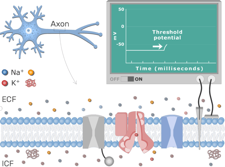 An image showing the change in the neuron membrane potential after stimulation, the neuron axon membrane is enlarged and contains different channels