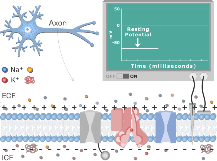 An image showing the charge of the outside and inside the neuron membrane potential, the neuron axon membrane is enlarged and contains different channels