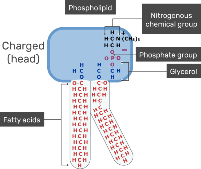 An image showing the head positive charge, Nitrogenous chemical group, Phosphate group, Fatty acids of the tail and Glycerol of bilayer phospholipid of the cell membrane