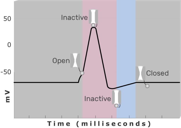 An image showing the inactive (closed) during Relative refractory period , inactive (closed) and active (open) Na+ channel during Absolute refractory period (pink) using diagram of action potential measured (mv) through time