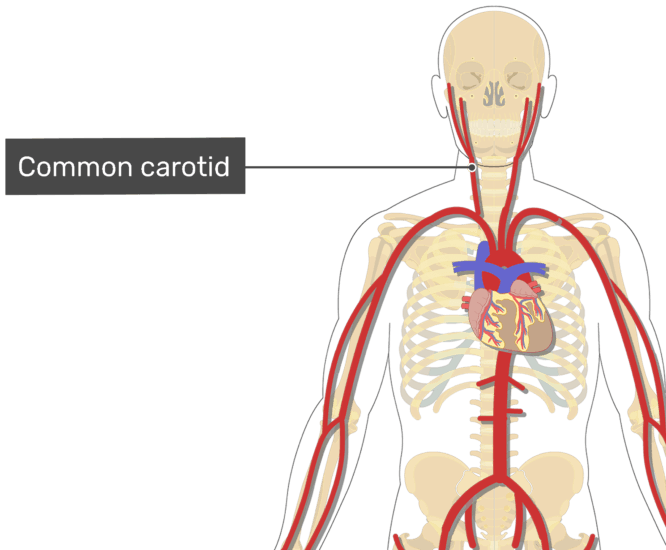 Labelled image of the common carotid artery of the neck
