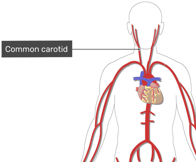 Labelled image of the common carotid artery of the neck with the skeleton hidden.