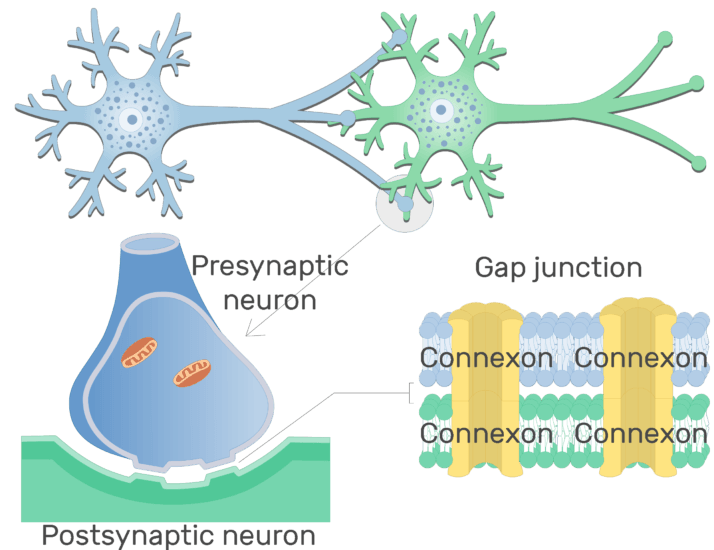 An image showing Connexons of the Gap junction of an Electrical synapse between 2 neurons (presynaptic neuron and postsynaptic neuron)