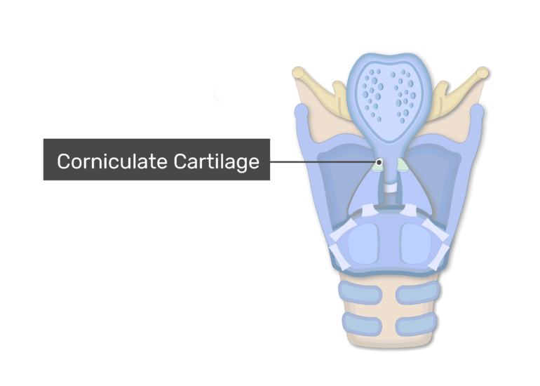 A posterior view of the larynx showing the small cartilages and labeling The Corniculate cartilage
