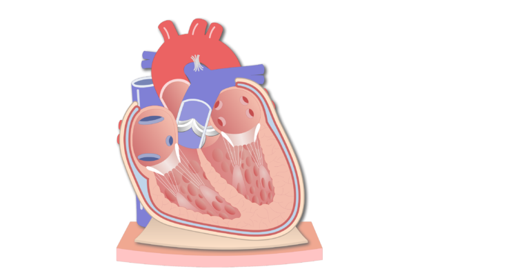 Coronal section of the pericardium animation slide 1