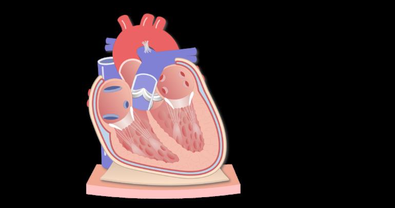 Coronal section of the pericardium animation slide 1