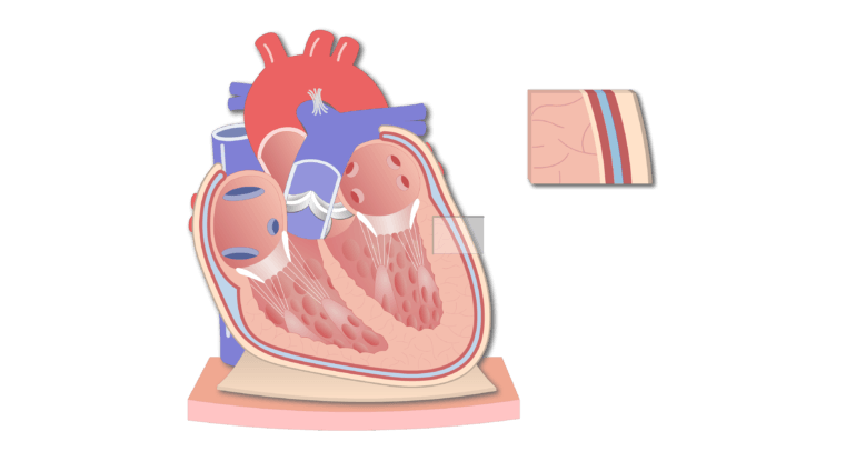 Coronal section of the pericardium animation slide 10