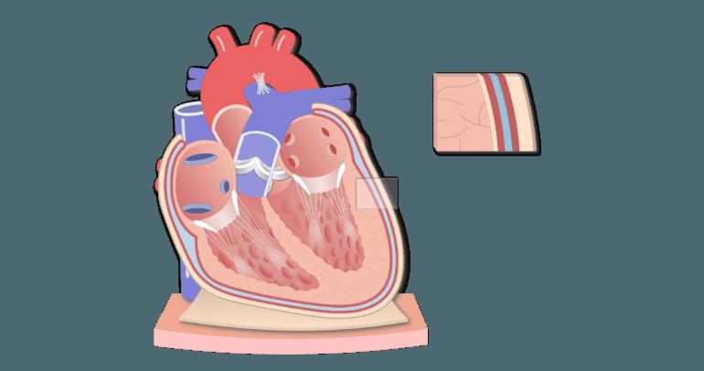 Coronal section of the pericardium animation slide 10