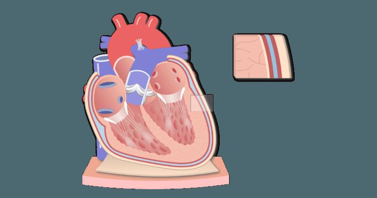 Coronal section of the pericardium animation slide 11