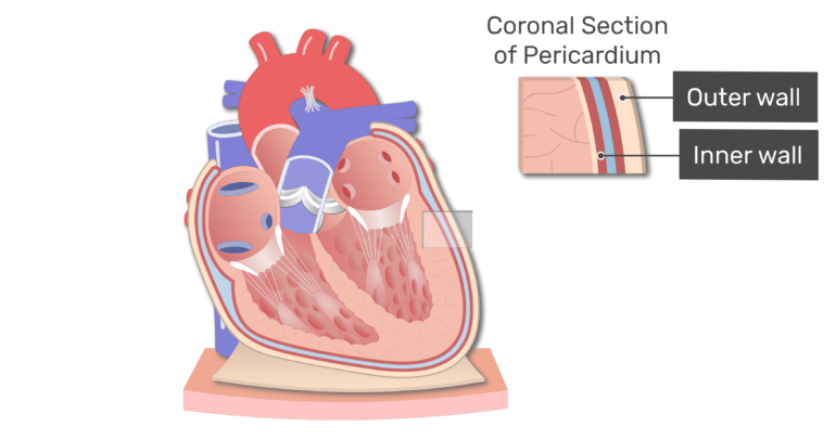 Coronal section of the pericardium animation slide 12