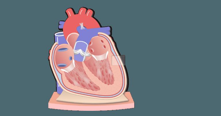 Coronal section of the pericardium animation slide 2