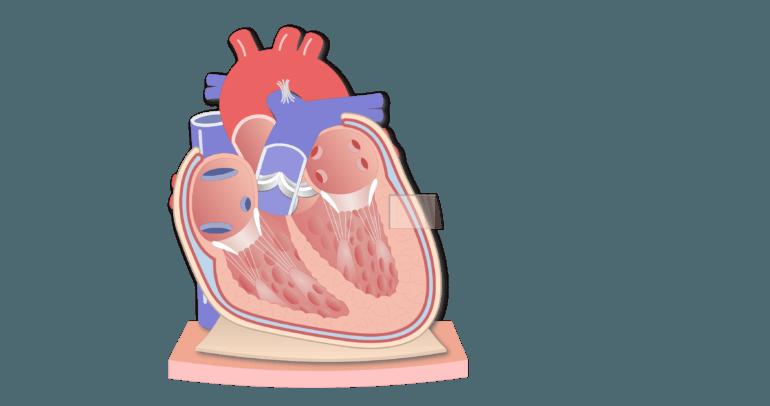 Coronal section of the pericardium animation slide 3