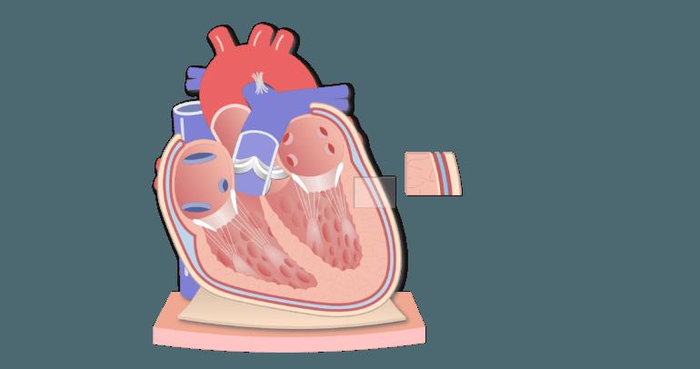 Coronal section of the pericardium animation slide 7