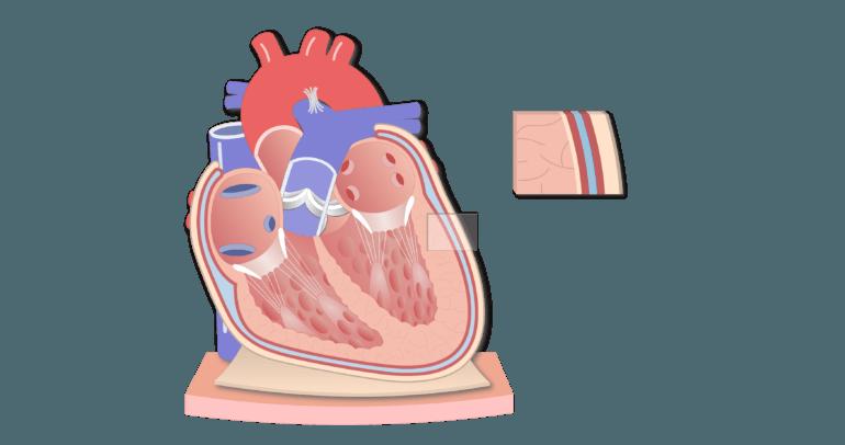 Coronal section of the pericardium animation slide 9