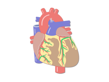 featured image for the coronary veins of the heart. with the veins highlighted in green.