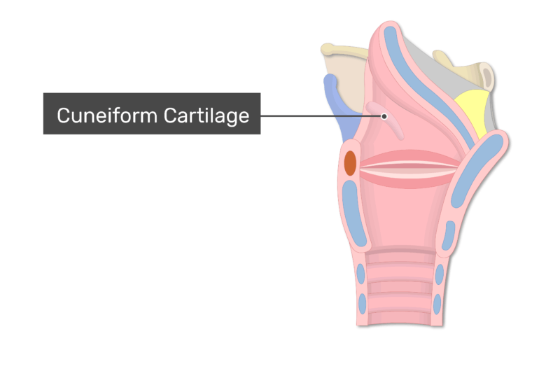 The cuneiform cartilage on midsagittal view