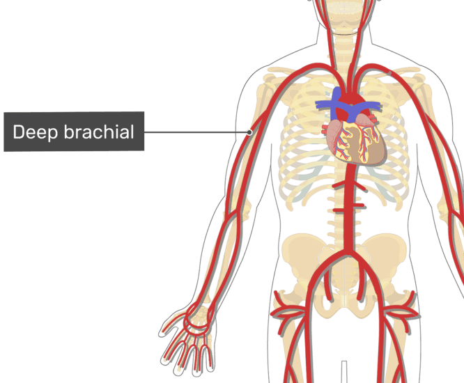 Labelled image of the deep brachial artery of the arm.