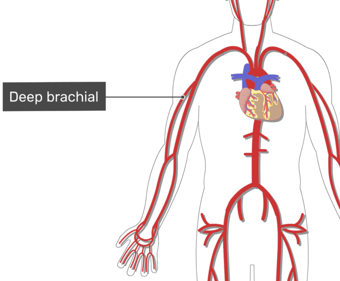 Labelled image of the deep brachial artery of the arm with the skeleton hidden.