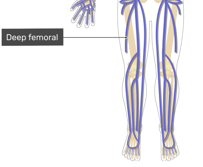 Labelled image of the deep femoral vein.