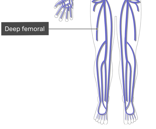 Labelled image of the deep femoral vein with the skeleton off.