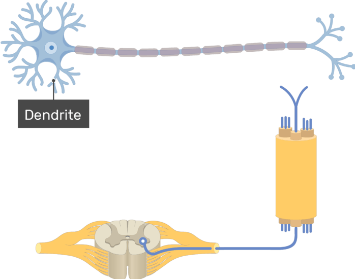 Am image showing the basic structure of the multipolar neuron, the dendrite is labeled