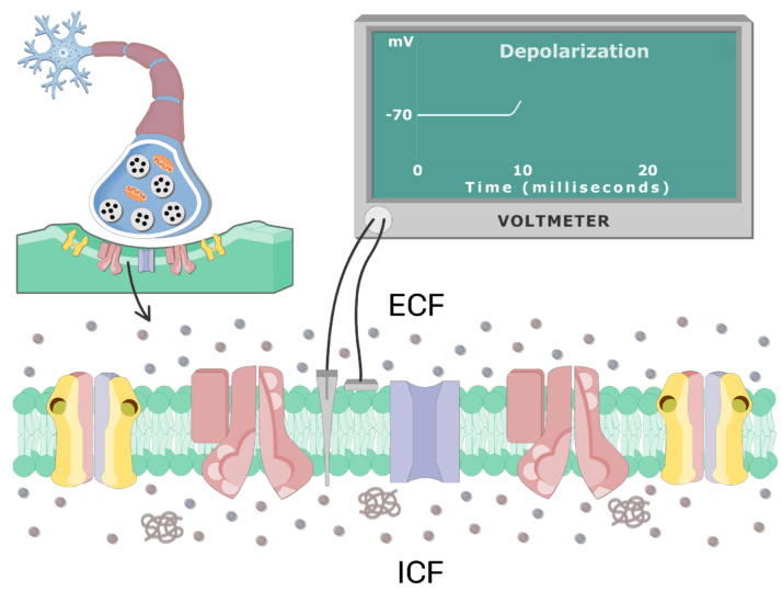 An image showing the depolarization chart on the board, the cell membrane of a neuron cell is magnified