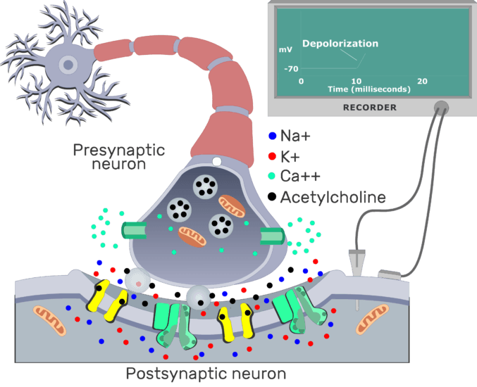 An image showing the depolarization of cholenergic synapse between presynaptic and postsynaptic neuron, the postsynaptic membrane contains different channels