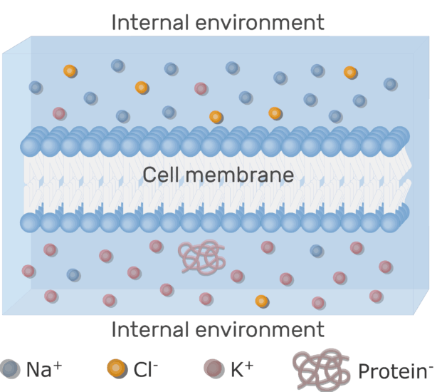 An image showing the neuron cell membrane bipolar phospholipids surrounded by ions and water with labels below