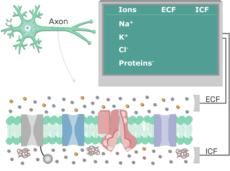 An image showing the distribution of ions between extracellular and intracellular fluid in resting axons