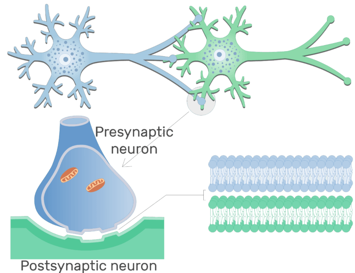 An image showing Electrical synapse between 2 neurons (presynaptic neuron and postsynaptic neuron)