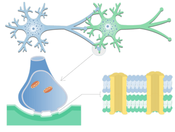 Electrical Synapse - Basic Structure - Featured