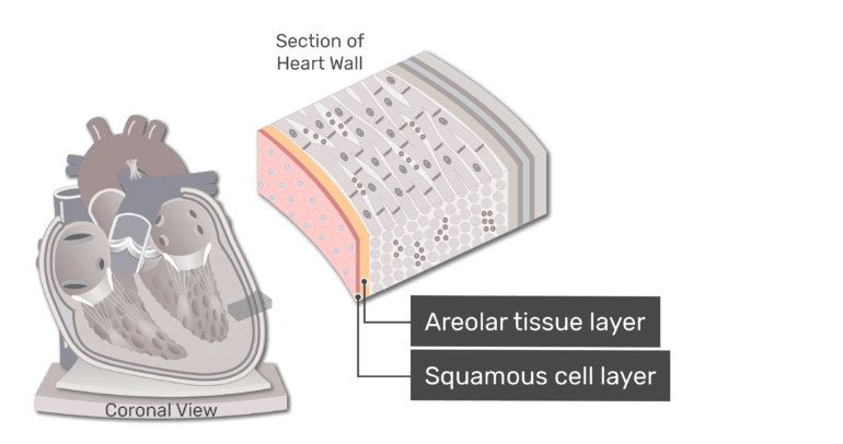A section of the heart wall with the endocardium highlighted and the areolar tissue layer, and squamous cell layer labelled.