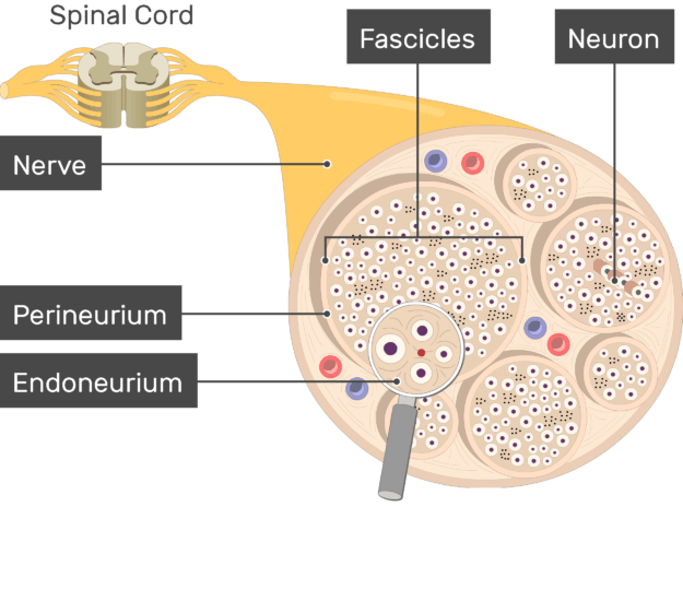 An image showing the nerve basic anatomical structures of the Endoneurium, Perineurium, Fascicles, nerve, the Neuron and nerve are labeled