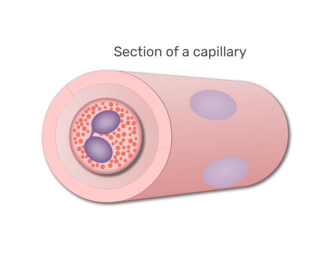 An eosinophil in a section of capillary animation slide 6