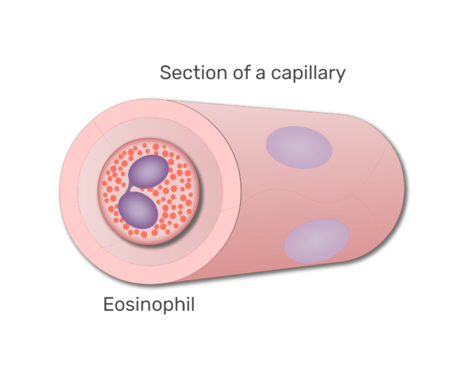 An eosinophil in a section of capillary animation slide 7