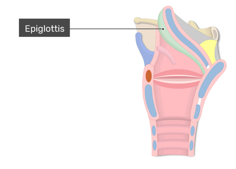 The epiglottis shown on lateral view