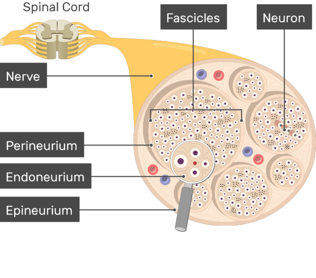 An image showing the nerve basic anatomical structures of the Epineurium, Endoneurium, Perineurium, Fascicles, nerve, the Neuron and nerve are labeled