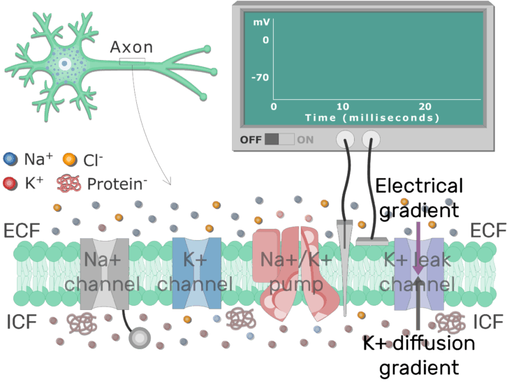 An image showing different types of channels equilibrium status of K leak channel in addition to (K channel - Na channel - Na-K pump are labeled) in the (neuron) cell membrane (between ICF and ECF)